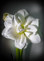 Amaryllis (CWhatPhotos) Tags: bloom flowering green plant bud light photographs photograph pics pictures pic picture image images foto fotos photography artistic cwhatphotos that have which with contain olympus digital camera lens em5 mkii samyang fisheye 75mm aspherical manual micro macro flowers flower nature color colour colors colours vibrant closeup close up amaryllis heads head shadowed shadow shadows wide fish eye view shot beauty beautiful