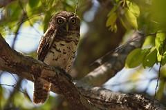 African Barred Owlet (cirdantravels (Fons Buts)) Tags: owl owlet uil dwerguil glaucidium strigidae strigiformes kauz sperlingskauz chevêchette kafue kaingusafarilodge coth5 ngc
