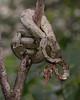 Amazon Tree Boa (2 of 2) (tickspics ) Tags: amazonbasin amazontreeboa boidae corallushortulanus lowlandrainforest manú manúbiospherereserve manúnationalpark peru snakes southamerica squamata tropicalrainforest