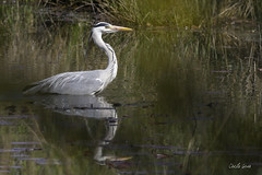 Héron Cendré (~Cess~) Tags: héron cendré ardea cinerea grey heron oiseau bec bird gris lac water lake étang