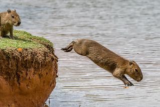 Capivara - Capybara (Hydrochoerus hydrochaeris)