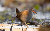 Water Rail (raytaylor77) Tags: bokeh dof fieldcraft outdoor wildlife winter bird eating feathers golden lowangle nature water wild wiltshire wings england unitedkingdom gb