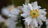 For A Happy Year-End-Weekend (AnyMotion) Tags: japaneseanemone herbstanemone anemone×hybridawhirlwind blossom blüte bokeh 2017 anymotion maincemetery hauptfriedhof frankfurt hessen germany floral flowers 7d2 canoneos7dmarkii colors colours farben white weiss yellow gelb autumn fall herbst automne otoño ngc npc fa