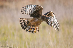 Northern Harrier (trinstanprep) Tags:
