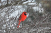 Northern Cardinal (U.S. Fish and Wildlife Service - Midwest Region) Tags: bird birds birding nature wildlife minnesota mn january 2018 cardinal cardinals northerncardinal tree trees perched perch red animals male