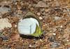 Pieridae sp (tristanba) Tags: lepidoptera pieridae