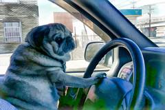 At the Wheel (Bob90901) Tags: pug driving dog hss sliderssunday longisland newyork rpg90901 2017 november topaz adjust simplify