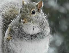 Winter squirrel (NaturewithMar) Tags: winter squirrel macro 7dwf monday free theme ngc