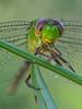 Smiling.!! (veltrahez) Tags: miami florida unitedstates us ngc macro life neture dragonfly closeup
