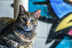 javacats10Dec20170293.jpg (fredstrobel) Tags: javacafecats javacatscafe atlanta places animals ga pets cats usa georgia unitedstates us