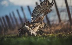 hunting prey (szugic) Tags: hawk hunting prey animal wild nature bird chasing training nikon sigma flying rabbit fighting