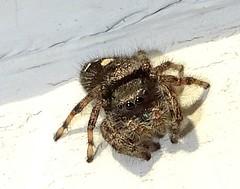 Dec10,2017 DSC09958 Bold Jumping Spider (terrygray) Tags: bug