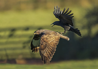 Buzzard and Crow - Wing Surfing