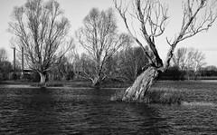 Along the river (explored) (Theo Bauhuis) Tags: duitsland rees rhein rijn hoogwater river germany deutschland nrwf trees bomen monochrome bw zwartwit