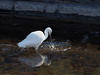 Little egret (コサギ) (Greg Peterson in Japan) Tags: shiga oyamakawa 野洲市 大山川 egretsandherons yasu wildlife コサギ birds rivers 野鳥 japan shigaprefecture
