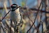 Downy Woodpecker, Male (brian.bemmels) Tags: picoidespubescens picoides pubescens downywoodpecker male downy woodpecker reifelbirdsanctuary delta bc britishcolumbia canada nature outdoors wildlife bird canon 5dmarkiii ef100400mmf4556lisiiusm