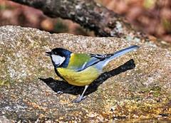 Carbonero común (kaplan10) Tags: ave pájaro comedero navarra bosquedeorgi naturaleza