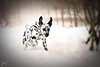 'Happiness in Snow.' (JerneiV.) Tags: dog snow dalmatian mydog mydalmatian happy snowy action running photograph puppy play beauty