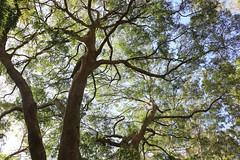 Hard Quandong (Elaeocarpus obovatus) (Poytr) Tags: arfp nswrfp qrfp hardquandong elaeocarpaceae elaeocarpusobovatus tree subtropicalarfp subtropicalrainforest nambuccaheads