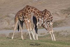 Giraffe at Play (ToddLahman) Tags: kilimapoint kilimaoutlook outlook giraffe play playtime sandiegozoosafaripark safaripark canon7dmkii canon canon100400 closeup beautiful mammal