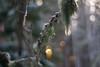 Lichen Light (Nyllet) Tags: meyeroptikgörlitzprimoplan5819 lichen sunlight bokeh