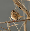 Song Sparrow (Todd Boland) Tags: birds sparrow