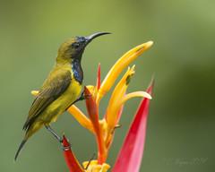 Olive-backed Sunbird (Male) (Chris.Kookaburra) Tags: birds nectariniajugularis olivebacked sunbird olivebackedsunbird avian ornithology bird cinnyrisjugularis birdwatching