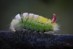 Colourful Caterpillar (Olof Virdhall) Tags: catepillar moth nature green forrest sweden canon eos5 mkiii olofvirdhall