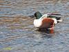 Cuchara común (Anas clypeata) (7) (eb3alfmiguel) Tags: aves acuaticas patocuchara anátidas anatidae agua pájaro mar