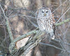 RSF6857 (jacksonfrontierphotography) Tags: barred owl missouri