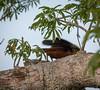 IMG_7569 (jaglazier) Tags: 121717 2017 capok copyright2017jamesaglazier december deciduoustrees ecuador napowildlifepreserve naturepreserves orellana trees animals birds oropendola parks orellanaprovince