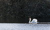 9Q6A6733 (2) (Alinbidford) Tags: alancurtis alinbidford brandonmarsh wildbirds muteswan