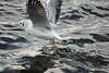 Ich streitsüchtig? Ja klar... (Susanne Weber) Tags: gull gulls vogl vögel möwe möwen tier tiere anmal bird birds natur see wasser