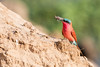 Southern Carmine Bee-Eater (Thomas Retterath) Tags: pukuridge afrika africa zambia sambia southluangwavalley 2017 natur nature allrightsreserved thomasretterath copyrightthomasretterath adventure wildlife abenteuer carminebeeeater karminspint bienenfesser vögel bird birds vogel animals tiere meropsnubicoides coth5