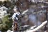Victorious (jrlarson67) Tags: northern hawk owl prey vole hunting raptor bird sax zim bog mn minnesota nikon