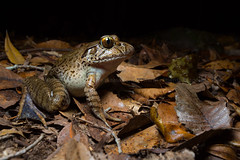 Giant barred frog (Mixophyes iteratus) (Nathan Litjens) Tags: anura limnodynastidae litjens mixophyes nathan nathanlitjens barred beech eye forest frog giant gold iteratus rainforest wet