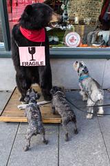 vieux port 26 (Tasmanian58) Tags: dog bear animal insolite cool fanny comic street schnauzer québec laugh streetphoto