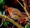 Snack time (Dieseldog05) Tags: robin feeding berry panasonic lumix fz200