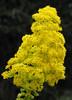 Aeonium arboreum (waynorth) Tags: gelb blüte botanischergarten grancanaria laspalmas spanien aeonium aeoniumarboreum