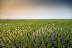 Tranquility ! (Ragavendran / ♥Rags♥) Tags: ragavendran cwc chennaiweekendclickers chengalpattu village villagelife green greenery greenchennai crop rice paddyfield paddy colours coloursofindia colourful grass greens blue hues water harvest food