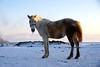 Dirty horse (CharlesFred) Tags: ardahan snow kars neige sneeuw neve ghiaccio ijs ice