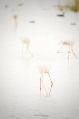 Flamencos alimentándose (Noa Táboas) Tags: flamenco flamingo doñana agua water phoenicopterus rosa aves birds roseus humedales animals light sea lake nature naturephotography
