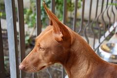 Rosalia...Cirneco dell' Etna (Luigi Strano) Tags: cirnecodelletna dog dogs cani cane sicilia sicily italy europe