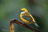 Tanager (Megan Lorenz) Tags: silverthroatedtanager tanager bird avian songbird nature wildlife wild wildanimals travel costarica mlorenz meganlorenz