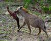 Hyena (leendert3) Tags: leonmolenaar krugernationalpark southafrica wildlife nature hyena mammal npc coth5