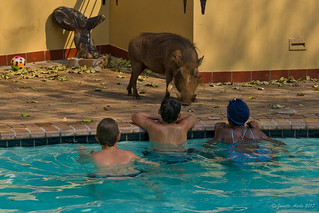 Warthog by the pool