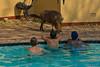 Warthog by the pool (NettyA) Tags: 2017 africa botswana chobebushlodge chobenationalpark commonwarthog phacochoerusafricanus swimmingpool travel warthog wildlife