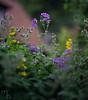 Summer feelings: Flower with Canon FD 55mm f/.2 s.s.c (lichtspuren) Tags: summer sommer blume flower lila lilac sony a7 canon fd 55mm f12 ssc lichtspuren