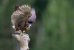 New Zealand Falcon (Karearea), male (njohn209) Tags: birds d500 nikon nz
