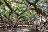 Banyan Tree in Lahaina, Maui, Hawaii (Rich Lonardo Photo) Tags: hawaii maui banyan tree trees banyantree vacation travel tour amazing nature landscape